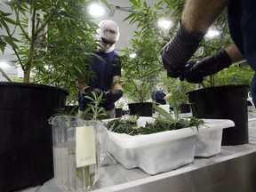 Workers produce medical marijuana at Canopy Growth Corporation's Tweed facility in Smiths Falls, Ont., on February 12, 2018. The job website Indeed has released new numbers that show cannabis-related searches, while still small, were more than four times higher last month compared to the year before.