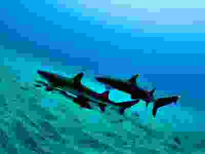 White tail sharks in the Pacific Ocean.