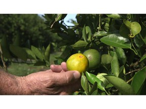 """Fred Gmitter, a geneticist at the University of Florida Citrus Research and Education Center, holds an orange affected by citrus greening disease at a grove in Fort Meade, Fla., on Sept. 27, 2018. """"If we can go in and edit the gene, change the DNA sequence ever so slightly by one or two letters, potentially we'd have a way to defeat this disease,"""" says Gmitter."""