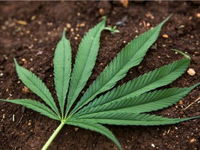 The leaf of a hemp plant. Hemp-derived CBD can only be extracted by licensed cannabis producers, not hemp farmers, and sold only in oil-form.