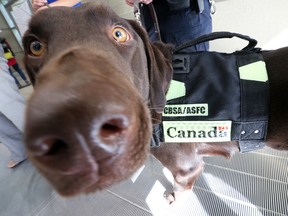 The Canada Border Services Agency could soon have more canine employees like Kodiak, thanks to the 2019 federal budget.