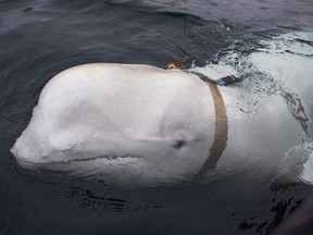 The beluga whale is seen swimming next to a fishing boat before Norwegian fishermen removed its tight harness, off the northern Norwegian coast on Friday, April 26, 2019.