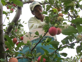 An upcoming dissertation suggests that the craft cider industry could potentially save small apple orchards and attract new farmers from urban areas
