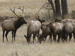 A bull elk keeps a watchful eye on a herd of cow elk in Rocky Mountain National Park near Estes Park, Colo. on Oct. 1, 2006.