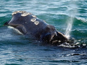 A North Atlantic right whale feeds on the surface of Cape Cod bay off the coast of Plymouth, Mass. on March 28, 2018.