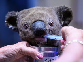 A dehydrated and injured Koala receives treatment at the Port Macquarie Koala Hospital in Port Macquarie on Nov. 2, 2019, after its rescue from a bushfire that has ravaged an area of over 2,000 hectares.
