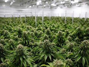 Since January of 2019, the amount of unfinished inventory of dried cannabis has nearly tripled, reaching a staggering 328,000 kilograms at the end of August.
