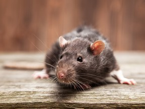 For nearly 70 years, the province of Alberta has officially been rat-free. Rats still get in, but they never survive long enough to breed.