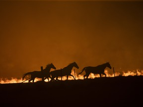 Horses panic as a spot fire runs through the property of Lawrence and Clair Cowie on February 01, 2020 near Canberra, Australia.