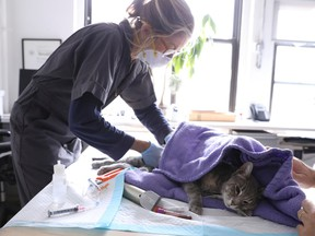 Home veterinarian Wendy Jane McCulloch examines cat 8-year-old Ivy at the closed Botanica Inc. office as she makes client home visits, which have additional safety protocols in recent weeks during the spread of coronavirus disease (COVID-19) outbreak, in Manhattan, New York City, U.S., March 31, 2020.