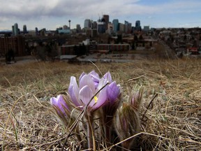 "Crocuses bloom on a hill above Calgary. A survey of Canadian businesses found some signs of optimism in the pandemic. A remarkable 62 per cent of businesses said they would be able to return to ""normal operations"" within a month if all social distancing measures were removed."