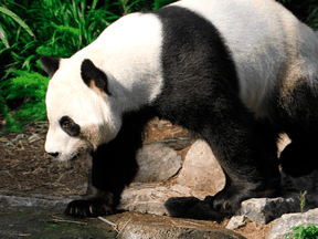 Pandas will be going home to China after the coronavirus pandemic left the Calgary Zoo