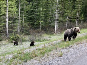 A group of grizzly bears including a grizzly cub with a white head and a brown body are shown in this handout image in Banff National Park provided by Julia Turner Butterwick. Butterwick says they were driving through the park when they saw a mother with her two cubs on the side of the road.