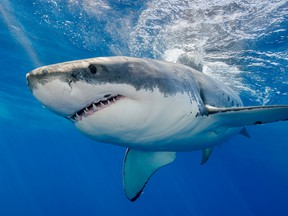 A great white shark swimming just under the surface.