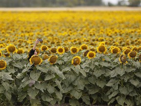 People stop to take photos in a sunflower field just outside Winnipeg, Tuesday, July 31, 2018. The lockdown induced by the COVID-19 pandemic seems to have left a lot of people feeling caged with many reaching out to their feathered friends by topping up their birdfeeders and driving up demand for sunflower seeds.