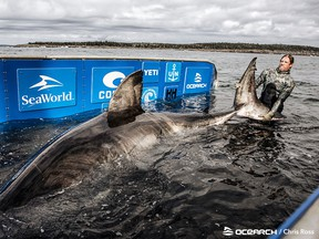 Nukumi is the largest shark the OCEARCH researchers have tagged and sampled during the current expedition.