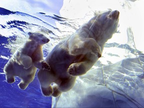 A polar bear cub and her mom swim in their pool at the Detroit Zoo.