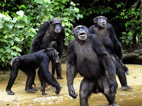 Chimpanzees in the jungle of southern Liberia.