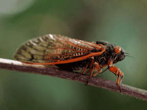Billions, probably trillions, of cicadas are emerging this month across the eastern United States in a monster swarm known as Brood X or brood 10.