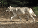 File photo of a grey wolf Kootenay National Park. Research indicates the mortality of wolves increases significantly once they leave the relative safety of national parks.