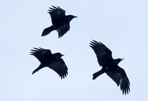 A group of crows appears to chase and play in the air above the Alberta Aviation Museum, in Edmonton Monday Jan. 4, 2021.