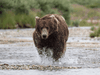 Stock image of an Alaskan grizzly bear.