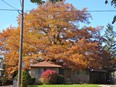 The 250-year-old red oak tree stands behind a North York property belonging to Ali Simaga.