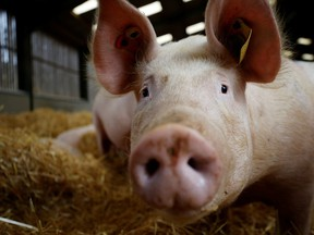 A sow on a family-run pig farm near Driffield, UK, 12 October 2021. REUTERS / Phil Noble