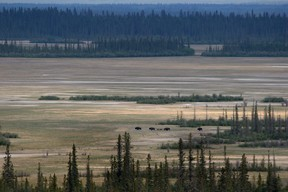 A herd of wild bison look for grazing ground on the Salt River plain in Wood Buffalo National Park, which straddles the borders of Alberta and Northwest Territories. Mike Drew/Postmedia Network