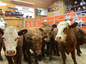 Cattle make their way through the sales ring at the Keady Livestock Market in this file photo.