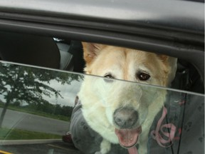 A photo illustration of a dog in a vehicle. POSTMEDIA FILES