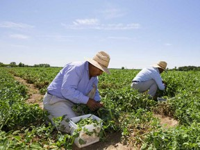 Migrant farm workers pick peas on a property near London are shown in this file photo.