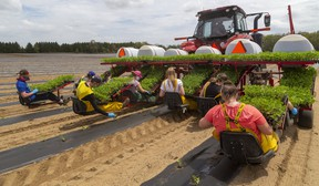 Area students and friends of the family plant watermelons on the farm of Peter Gubbels near Mt. Brydges in May. Gubbels, who grows 120 acres of the melons. Mike Hensen/Postmedia Network
