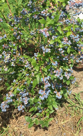 Blueberries at Park's Blueberries, Thamesville. Chatham This Week photo