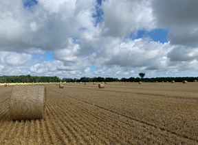 Figure 1. A recently harvested field of soft red winter wheat with straw processed into 4X5 round bales.
