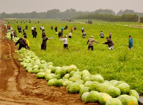 A group of migrant workers harvest a watermelon patch on Highway 3 west of Simcoe.