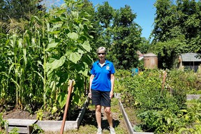 Gananoque Community Gardens organizer Jo Merkley is very pleased with this year's results. In spite of COVID-19, a bumper crop of vegetables is coming in, much of it destined for the Food Bank.  Supplied by Gwen Hundrieser