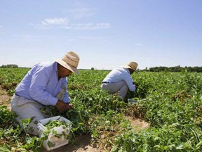 Canada's largest food processing workers union is calling for sweeping changes to the Temporary Foreign Worker program in the fallout of COVID-19 flare-ups that have seen more than 1,300 migrant workers in Ontario test positive and three die. (File photo/Postmedia Network)
