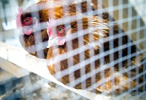North Bay council voted down a motion, Tuesday, to have staff prepare a report on allowing and regulating backyard chickens in the city. Postmedia File Photo