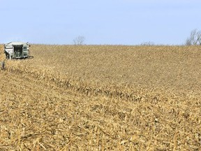 A combine is used to harvest a field of grain corn east of Meafod in the file photo from November 2016.