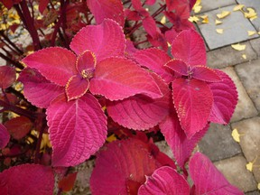 Coleus is an outdoor plant that homeowners should consider taking into their home for the winter, writes gardening expert John DeGroot. John DeGroot photo