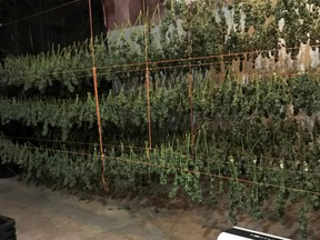 Drying cannabis seized by Ontario Provincial Police from a property northeast of Battersea. (Supplied Photo)