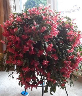 A Christmas cactus in bloom. (Submitted)