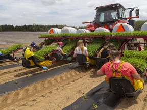 Students plant watermelons on this Mt. Brydges farm. (Postmedia Network file photo)