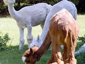 A pair of freshly sheared alpacas graze at Dream Acres farm near Timmins in this Daily Press file photo. Dream Acres is one of 30 agricultural operations from Northern Ontario being showcased in the 2020 Royal Agricultural Virtual Event which runs Nov. 10 to 14.  The Daily Press file photo