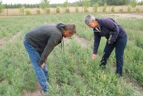 Pictured is Hawk Hills, Alberta farmer, Peter Bigler, with Nora Paulovich, Manager/Forage and Livestock Specialist with the North Peace Applied Research Association (NPARA) on Thursday, August 14, 2014 at the NPARA Research Farm during a morning tour. They're in a test plot where alfalfa and another legume, sainfoin, were seeded together for reduced incidents of bloats in cattle feeding on the mixture.