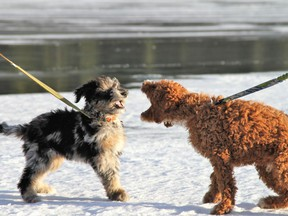 Puppy Fun. Canmore Puppies Fynn and Leo play on the ice on Spray Lakes on Saturday, Dec. 5. 2020. Photo Marie Conboy/ Postmedia.