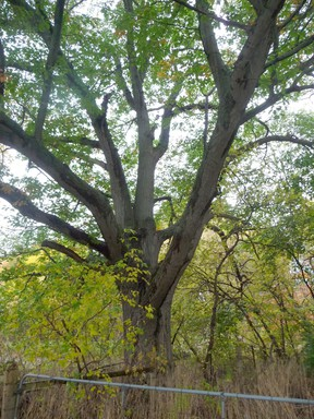 A Burr oak in a Sarnia-area woodlot. John DeGroot photo