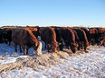 If cattle do not have access to adequate amounts of clean snow, water must be provided. Photo submitted.