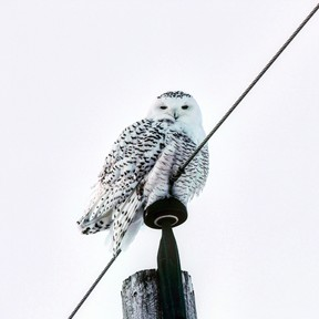 Brooklyn Hicks of Garson spotted this snowy owl just outside the Sudbury region and snapped a few photos to become this week's winner of the Sudbury Star Outdoors Photo Contest. Hicks wins two Caruso Club gift cards. Please send your contest entries to sud.outdoors@sunmedia.ca, with a home mailing address so we can send you your prizes. To contact the Caruso Club, call 705-675-1357 or email info@carusoclub.ca.
